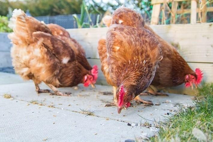 Breeding of the Golden Comet Chicken