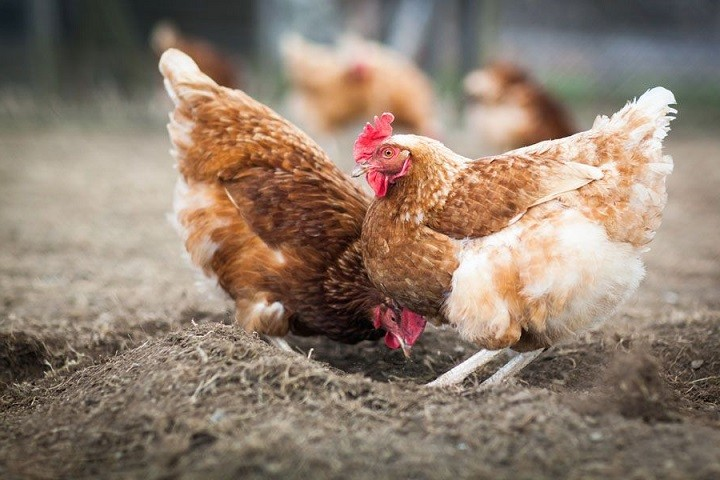 Common Chicken Health Problems