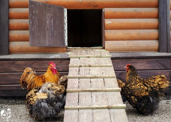 Should Chicken Coop Door Close at Night