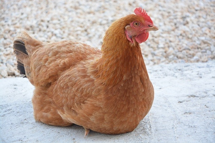 Golden Comet Chicken