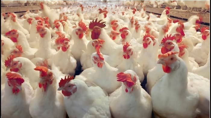 How to begin poultry farming