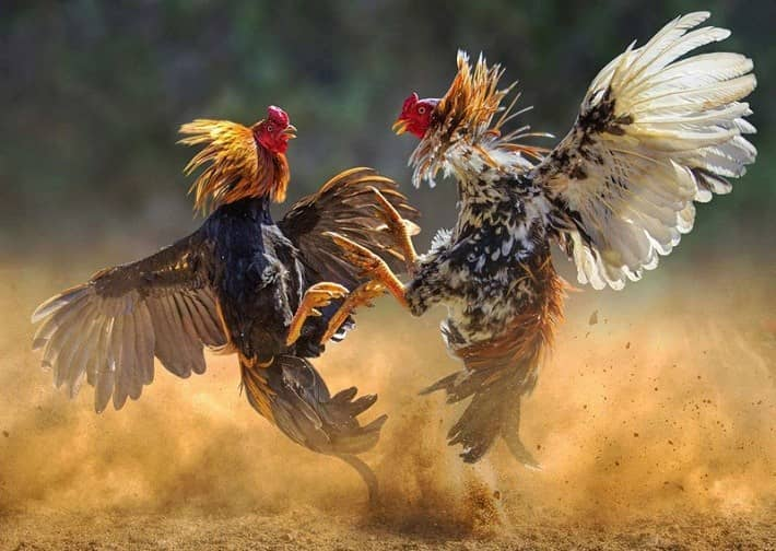 Rooster Spurs