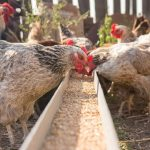 What Kinds of Feed Do Chickens Eat